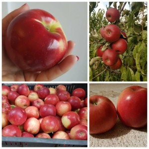 alma vásár